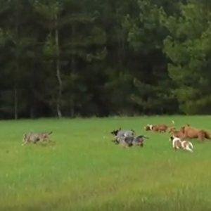 Este vídeo de un pastor alemán cazando jabalíes asombra a muchos cazadores