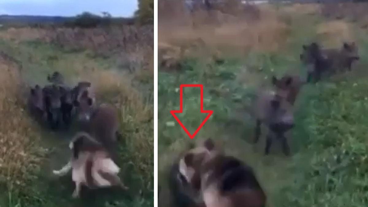 Una piara de jabalíes se encuentra con un pastor alemán y se lanza al ataque