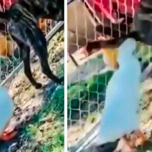 Un pato 'caza' a un perro en este vídeo viral que acumula 24 millones de visitas