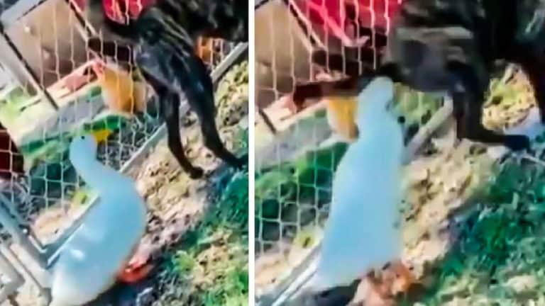 Imágenes del pato atacando al perro