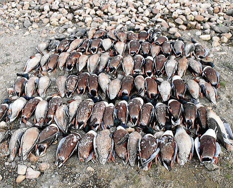 Aparecen más de 800 patos muertos en Cáceres