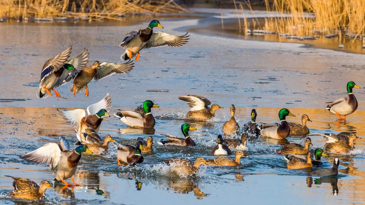 Prohíben el uso de patos vivos como reclamos para la caza de acuáticas en la Comunidad Valenciana