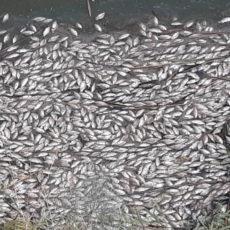 Aparecen miles de peces muertos en el Tajo a su paso por Toledo