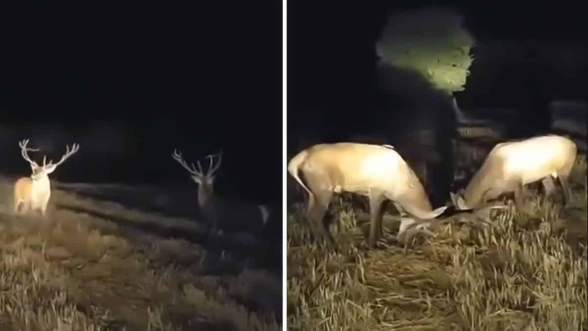 Espectacular pelea de dos ciervos frente al coche de un cazador