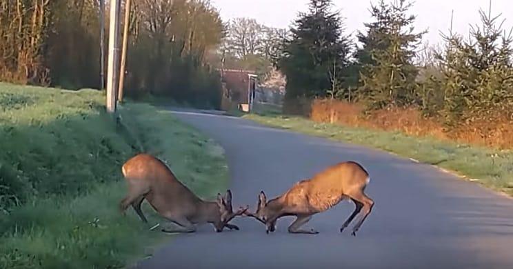Graban la violenta pelea de dos corzos en mitad de la carretera