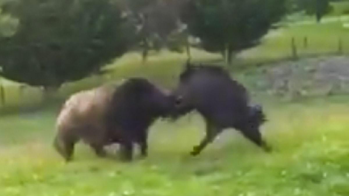 Graban la pelea entre dos titánicos jabalíes