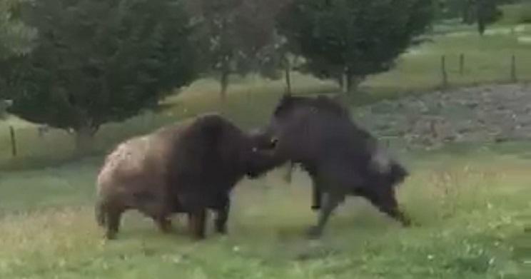 pelea macarenos