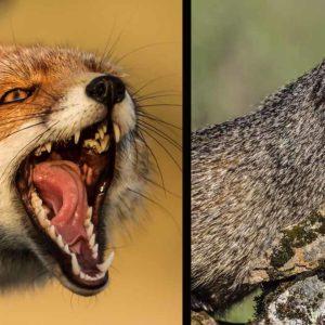 Graba la impactante lucha entre un zorro y un meloncillo en Toledo