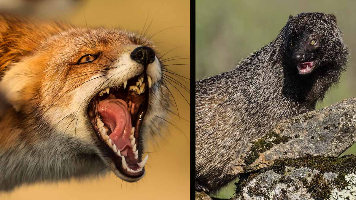 El zorro y el meloncillo, dos rivales por naturaleza. © Shutterstock