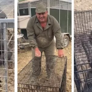 Así captura 'El Pencho' jabalíes con jaulas