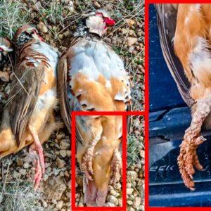 Cazan tres perdices con extrañas malformaciones en sus patas en Albacete