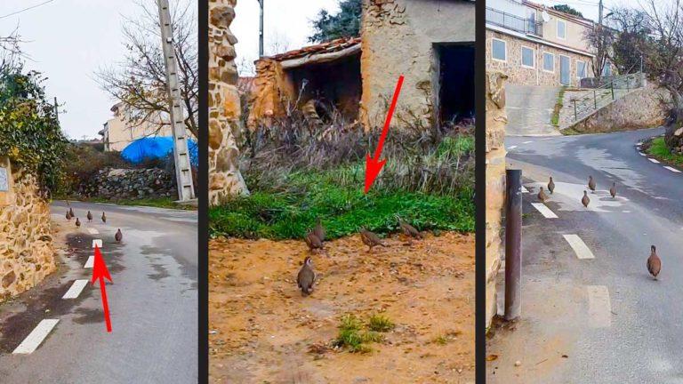 Varias capturas del vídeo en el que se ve a las perdices corriendo por el pueblo. ©Jara y Sedal