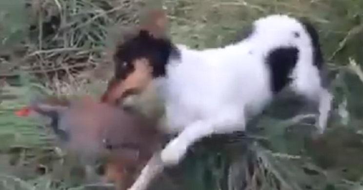 perdiz ataca a perro