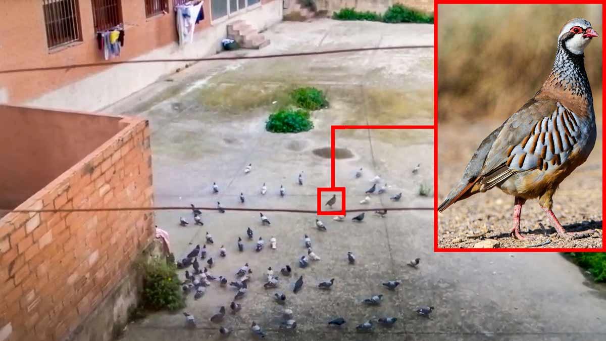 Una perdiz se 'infiltra' en un bando de palomas en pleno casco urbano