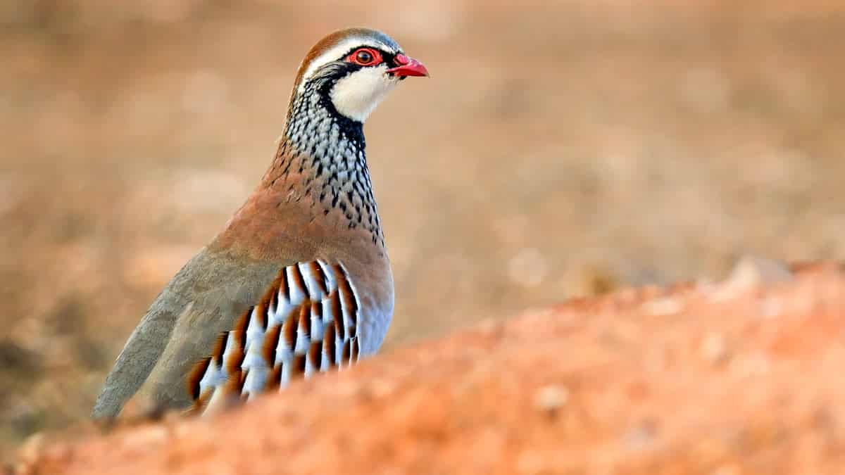 Perdiz roja (Alectoris rufa). © Shutterstock