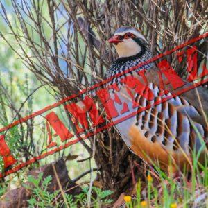 Los ecologistas logran catalogar a la perdiz roja como «casi amenazada» usando datos sesgados