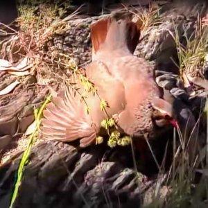 Una perdiz roja juega al engaño y finge estar herida para proteger a sus pollitos