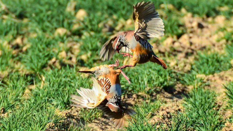 Dos ejemplares de perdiz roja en plena pelea por el celo. © JDG