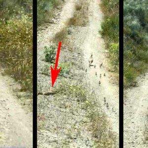Graban a una valerosa perdiz atacando a una serpiente para defender a sus 15 pollos