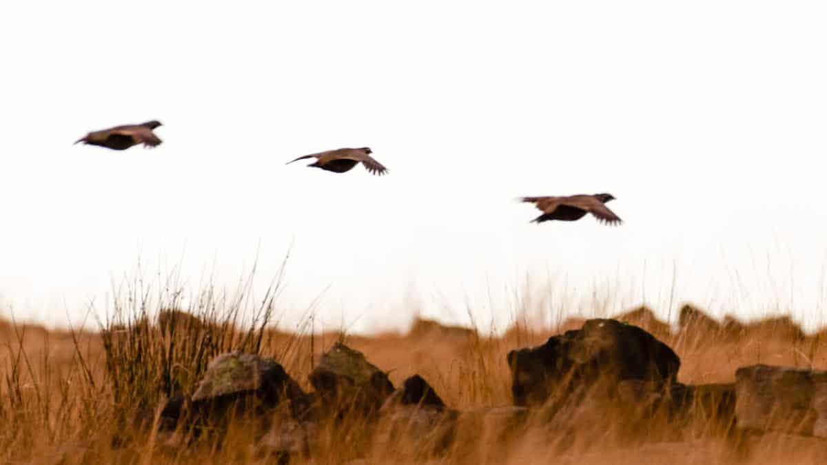 Consejo de caza: ¿Cómo tirar correctamente a una perdiz cruzada?