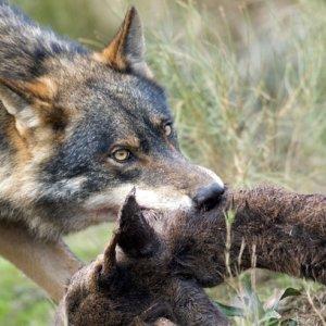 Los guardas de Riaño matarán casi cien ciervos para alimentar a los lobos