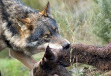 permisos de ciervo para alimentar a los lobos