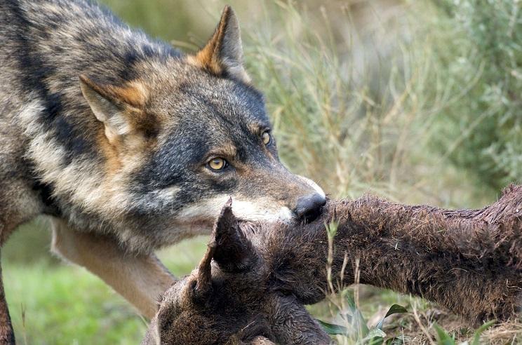 permisos de caza para alimentar lobos