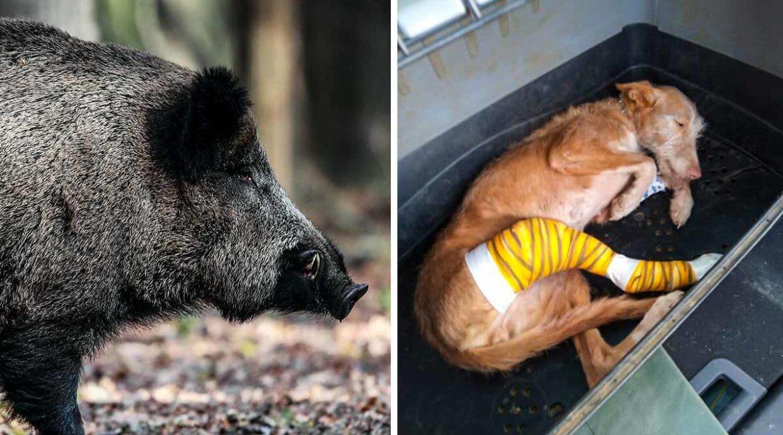 'Brilla', la perra de caza a la que un jabalí dejó sin pata y hoy sigue monteando