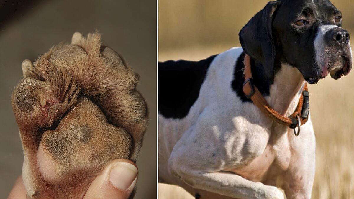 ¿Cómo tratar las lesiones en las almohadillas de los perros de caza?