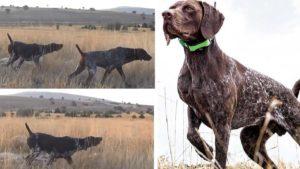 Este es el perro de caza con el que todo cazador soñaría