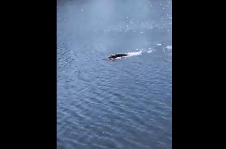 Este perro cobra un ciervo en un lago a casi 200 metros