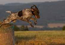 perro de caza