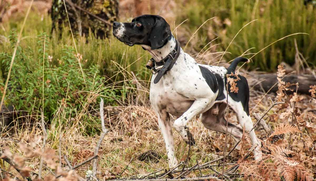 Cinco ejercicios que puedes entrenar con tu perro de caza durante el verano del COVID-19