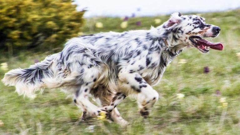 Perro en una jornada de caza. /Jara y Sedal