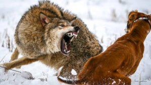 Esto es lo que pasa cuando un lobo se siente acorralado por un perro de caza