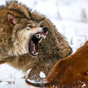 Si el lobo mata a tu perro de caza la Administración debe indemnizarte: esto es lo que debes hacer
