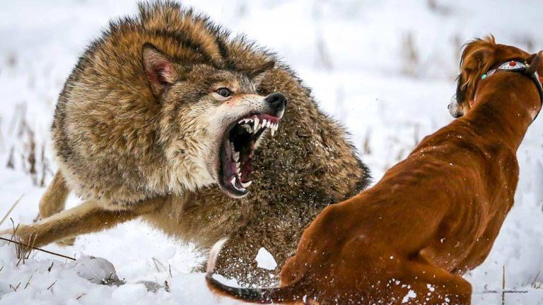 Perro de caza tazy kazajo y lobo. ©Reuters