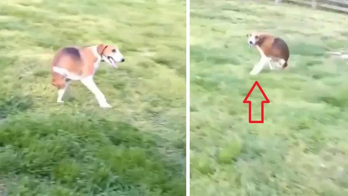 Este perro, al que le faltan las patas traseras, emociona a los cazadores, ¡mira cómo corre!