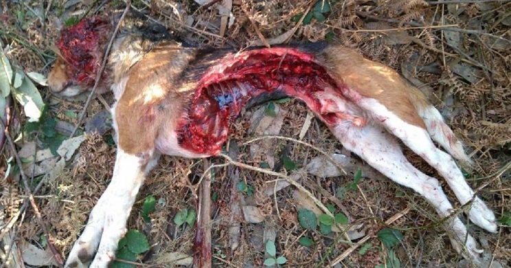 Así quedó el perro tras ser atacado por el lobo. / lne.es