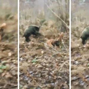 Un perro de caza olfatea a un jabalí sin saber que este le espera para tenderle esta emboscada