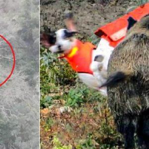 Pierde a su perro de caza persiguiendo a un jabalí y así lo encuentra al día siguiente