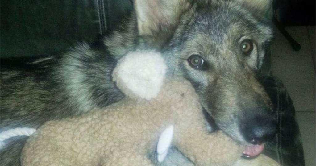 perro-lobo-sorpresa