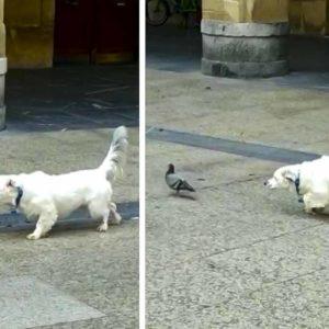 La increíble muestra de este perro 'urbanita' a una paloma asombra a los cazadores