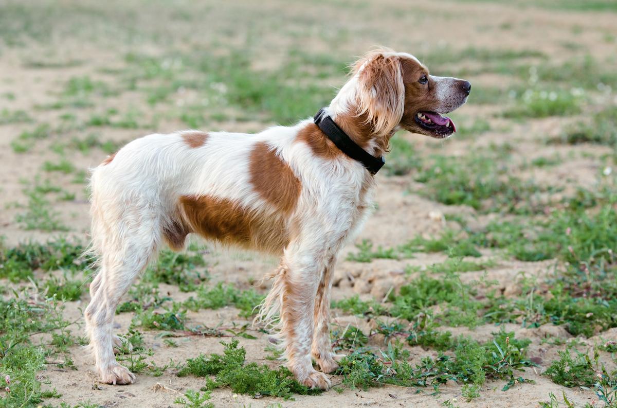 El Gobierno español prohibirá cortar orejas y rabos a los perros