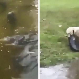 Un retriever 'para' a un pez casi tan grande como él y lo coge a diente