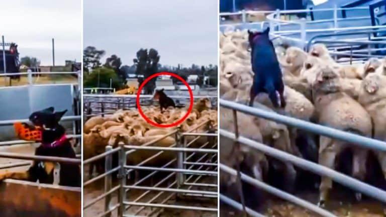 Tres momentos del vídeo del perro pastor. © Facebook