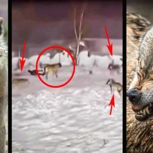 Tres lobos acorralan a un perro pastor kangal y esta es su heroica reacción