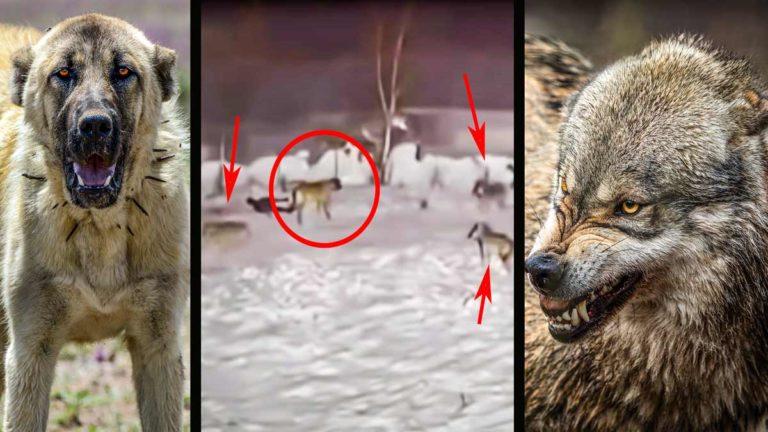 Kangal, lobo y un instante del vídeo.