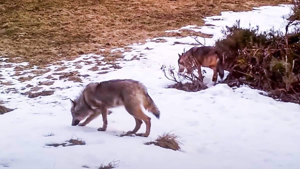 Una cámara graba a un perro pastor entrando en terreno de lobos y su final es intrigante