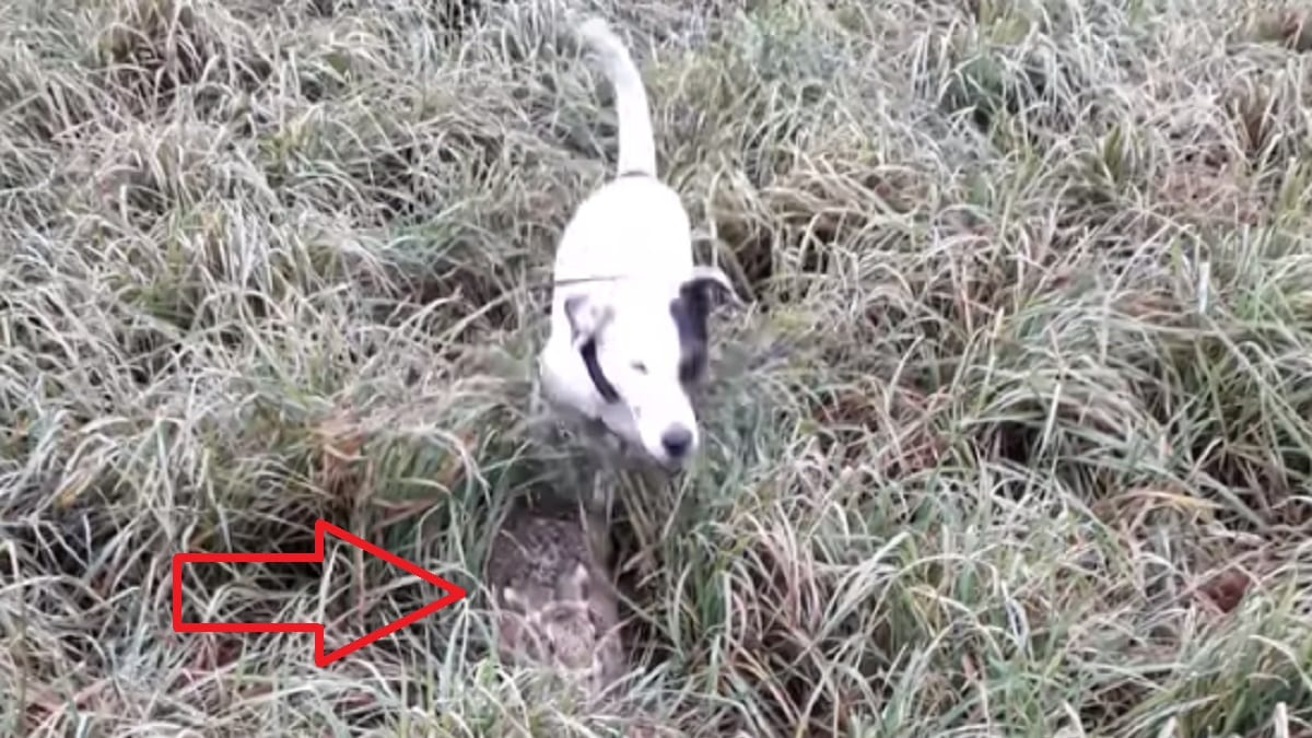 Este perro de caza no detecta la liebre ni teniéndola debajo de sus narices